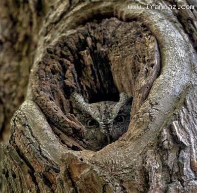 عکس هایی خارق العاده از هنر مخفی شدن جغدها! ، www.irannaz.com